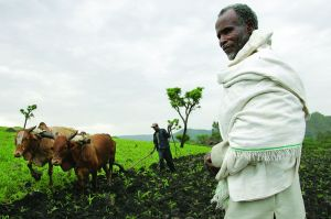 800px-ILRI,_Stevie_Mann_-_Ploughing_with_cattle_in_southwestern_Ethiopia